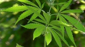 Vivid green leaves swaying in wind. stock video