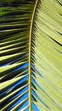 Vivid green palm leaf frond set against a clear blue sky. Deep blue sky can be seen through the yellow and green fronds Royalty Free Stock Images