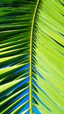 Vivid green palm leaf frond set against a clear blue sky. Bright sunlight Royalty Free Stock Image
