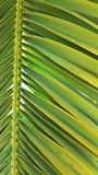 Vivid green palm leaf frond set against a clear blue sky. Yellow and green fronds Stock Image
