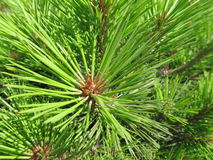 Vivid green pine tree needles. Fresh vivid green  pine needles close up macro Royalty Free Stock Photo