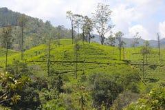 Vivid Green Tea Plantation, Sri Lanka Stock Image