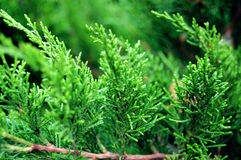 Vivid Green Thuja Stock Photo