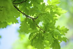 Vivid Greenery of Oak Tree Leaves. Vivid green of the young oak tree leaves in sunlight. Concept: youth, lightness, healing green color Stock Image