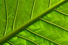 Vivid Leaf Royalty Free Stock Photography