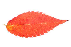 Vivid leaf isolated Royalty Free Stock Photos