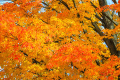 Vivid Leaves in Fall. Close up of a colorful maple tree in October Royalty Free Stock Photos