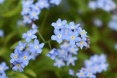 Vivid Light Blue Azure Flowers Natural Blossom Bunch royalty free stock images