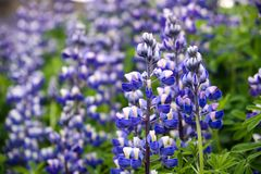 Vivid Lupines royalty free stock images