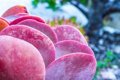 Vivid Magenta, orange color, pink close-up of single homegrown pancake succulent. Background texture, focus on foreground royalty free stock images