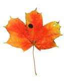 Vivid maple leaf Royalty Free Stock Photos
