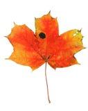 Vivid maple leaf royalty free stock photos