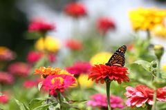 Summer Brilliance. A vivid Monarch butterfly feed among a garden full of brightly colored heirloom zinnias on a warm summer afternoon royalty free stock photo