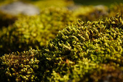 Vivid moss macro. Closeup shot of a wool-like moss surface in a park. Shallow depth of field Royalty Free Stock Image