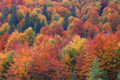 Vivid multi-colored autumn. Slovenian forest. High angle view Stock Photography