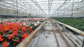 Vivid multicolored flowers in a big greenhouse. 4K. stock video footage