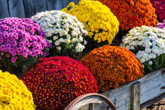 Vivid Mums in Farm Wagon. Colorful mums in farm wagon stock photo
