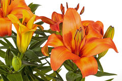Vivid Orange Asian Lilies and Buds on Green Stems Royalty Free Stock Images