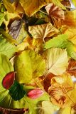 Vivid orange autumn colorful leaves. Winter natural image, close up Royalty Free Stock Photography