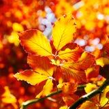 Vivid orange autumn leaves Royalty Free Stock Photography