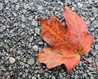 Vivid Orange Autumn Maple Leaf Royalty Free Stock Photos