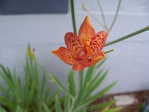 Vivid orange Leopard Lily with red spots. A vivid orange Blackberry Lily, that is really an Iris, shows off its red spots royalty free stock photo