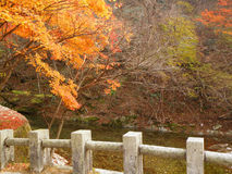 Vivid Orange Color of the Autumn Leaves on the River Bank with Stone Fence Stock Image