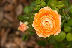 Vivid orange color rose flower blossom with small bud. Vivid orange rose flower blossom with small bud in the garden Stock Image
