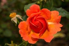 Vivid orange color rose flower blossom. In the garden Stock Image