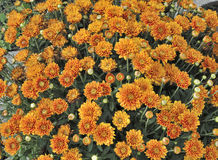 Vivid orange colored Mums Royalty Free Stock Image