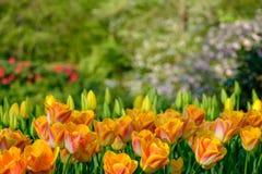 Vivid orange colour tulips at Keukenhof Gardens, Lisse, South Holland. Photographed in HDR high dynamic range. Close up of vibrant colour tulip at Keukenhof royalty free stock photography