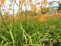 Vivid orange Flowers. With soft yellow highlights against green grass stock images