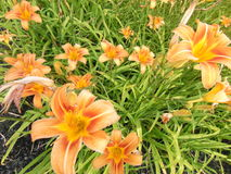 Vivid orange Flowers. With soft yellow highlights against green grass stock photo