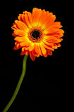 Vivid orange Gerbera daisy. Single vivid fresh orange Gerbera daisy, a popular ornamental cut flower for flower arranging, on a long stem over a black background Royalty Free Stock Photo