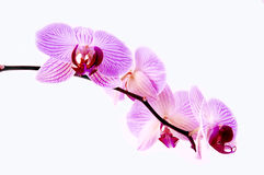 Vivid orchids. Orchids isolated on white background Stock Images