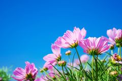 Vivid pink cosmos flower with clear sky Stock Images