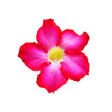 Vivid pink  Desert Rose Royalty Free Stock Photography