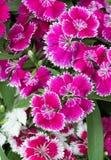 Vivid pink  Dianthus flower Stock Image
