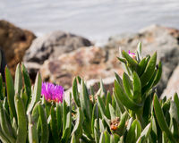 Vivid Pink flower and green foliage near rocky ocean shoreline. Vivid Pink flower and green vegetation in foreground. Background copyspace is blurred rocky ocean Stock Image