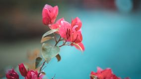 Vivid Pink Flowers Blossom Tree stock images