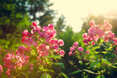 Vivid pink flowers at garden Stock Photos