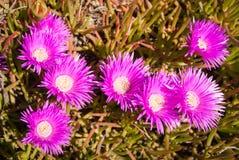 Vivid pink flowers, Marimutra, Catalonia, Spain Stock Photos
