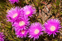 Vivid pink flowers, Marimutra, Catalonia, Spain Stock Photography