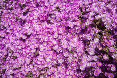 Vivid pink flowers, Marimutra, Catalonia, Spain Stock Images