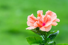 Vivid pink hibicus is blooming Royalty Free Stock Image