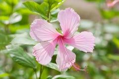 Vivid pink hibicus Royalty Free Stock Image