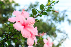 Vivid pink hibicus is blooming Stock Photography