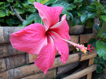 Vivid pink hibicus is blooming in the morning sunlight. Royalty Free Stock Photography