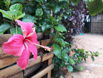 Vivid pink hibicus is blooming in the morning sunlight. Stock Images