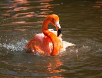 Vivid pink and red flamingo Stock Photography